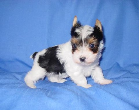 Yorkie Breeders Parti Yorkies Color Puppies For Sale Akc Puppies